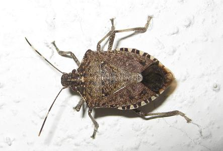 Found A Stink Bug In My Bed